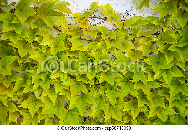 A lush plant ivy on the wall, background - csp58748033