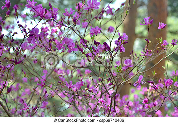 A Magnolia Tree Covered With Small Purple Flowers The Branches Of