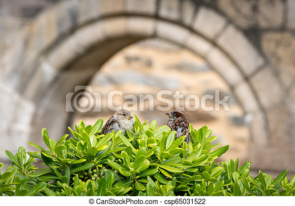 A male and a female house sparrow sitting on a bush in front of a stone wall - csp65031522