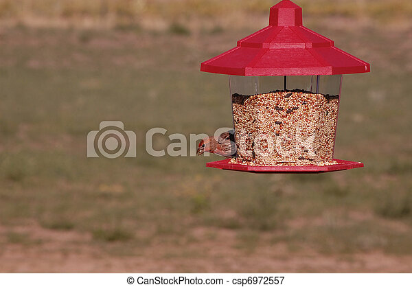 A Male House Finch (Carpodacus mexicanus) Eating Seeds From a Bird Feeder - csp6972557
