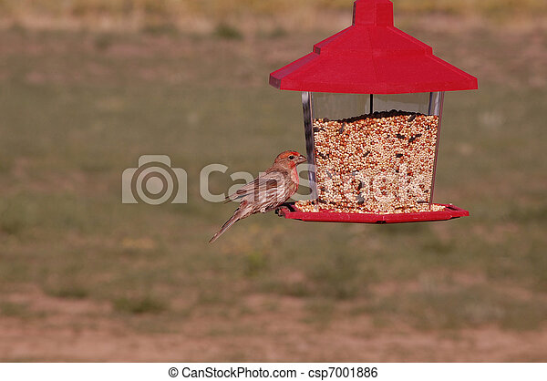 A Male House Finch (Carpodacus mexicanus) Eating Seeds From a Bird Feeder - csp7001886