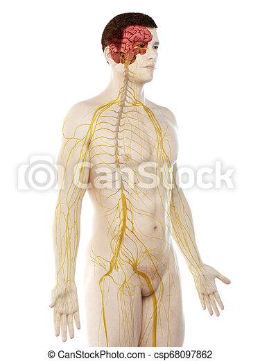 a mans nervous system - csp68097862