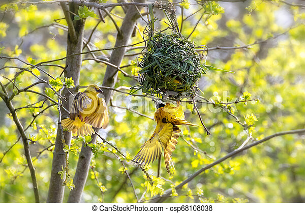 A Pair Of Weaver Birds Building A Nest A Pair Of Black Headed Or