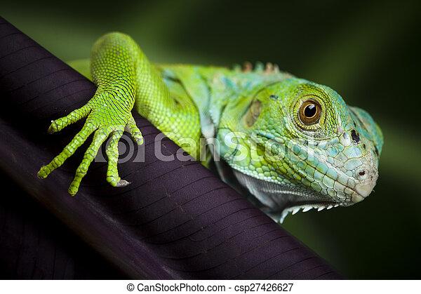 A picture of iguana, small dragon, lizard, gecko - csp27426627