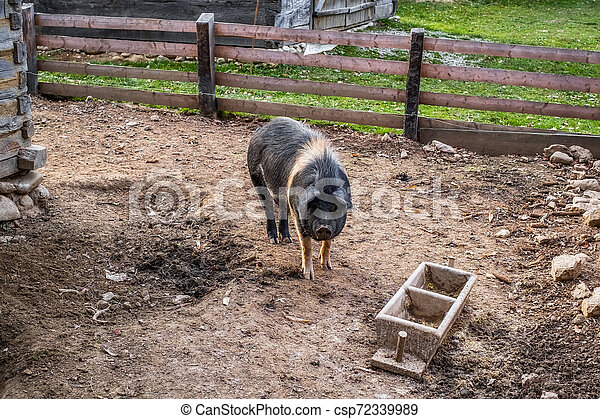 a pig with black and white in the yard to the country - csp72339989