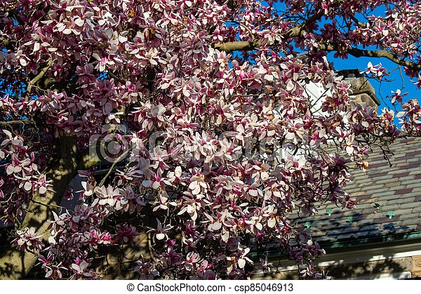 A Pink Cherry Blossom Tree on a Suburban Front Yard - csp85046913