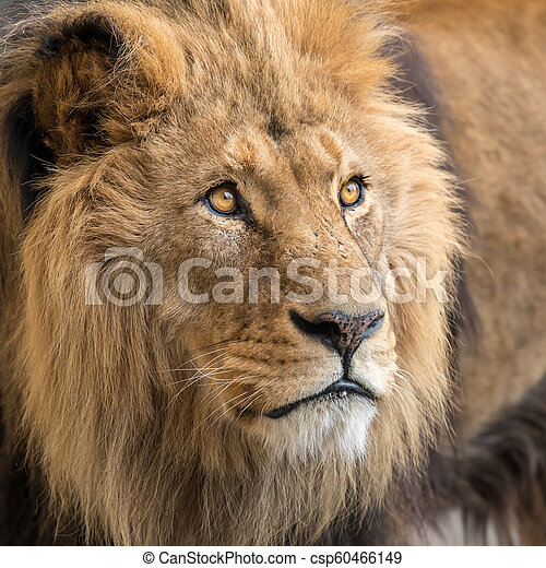 A portrait of a male lion in captivity - csp60466149