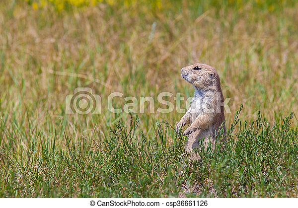 A prairie dog in a green field - csp36661126