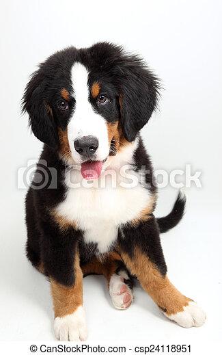 a puppy Bernese mountain dog - csp24118951