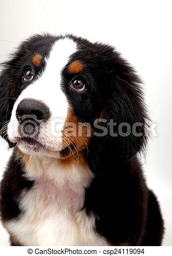 a puppy Bernese mountain dog - csp24119094