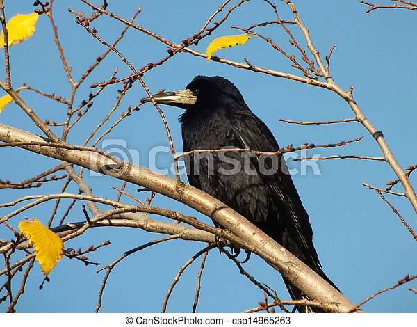 A raven sitting on a branch - csp14965263