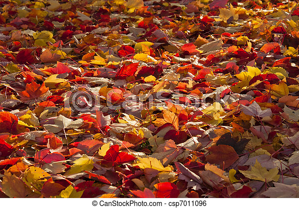 A ray of sunlight on autumn leaves. - csp7011096