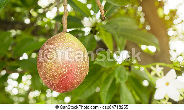 A red ripe round fruit of Suicide tree, called in other name are Pong Pong and Othalanga tree, on green leaf background - csp84718255