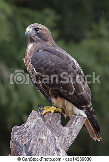 A Red-tailed hawk (Buteo jamaicensis) sitting on a stump. - csp14369030