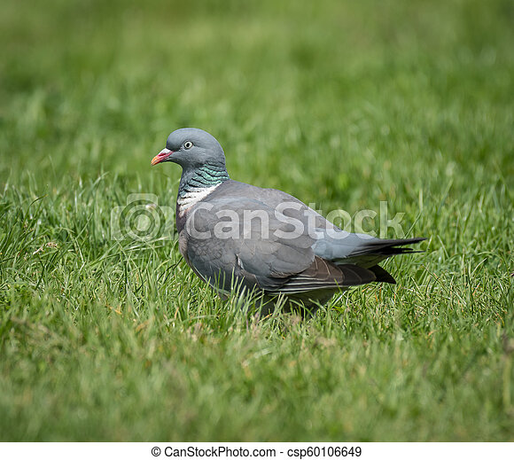 A ring dove sitting in the grass - csp60106649