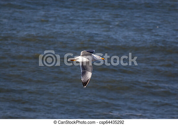 A seagull flying over the sea, Portugal - csp64435292