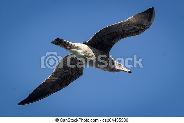 A seagull flying over the sea, Portugal - csp64435300