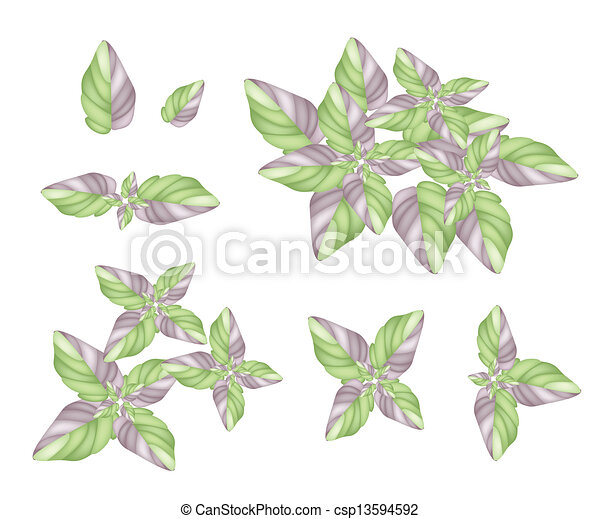 A Set of Acanthaceae Plant on White Background - csp13594592