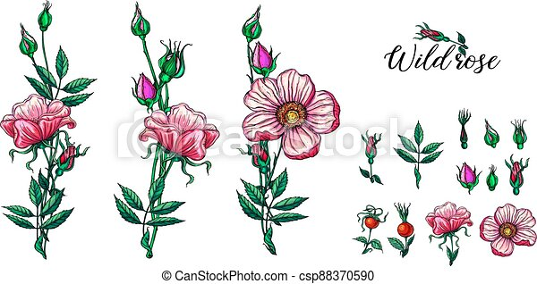 A set of vector flower compositions. Rose. Pink. - csp88370590