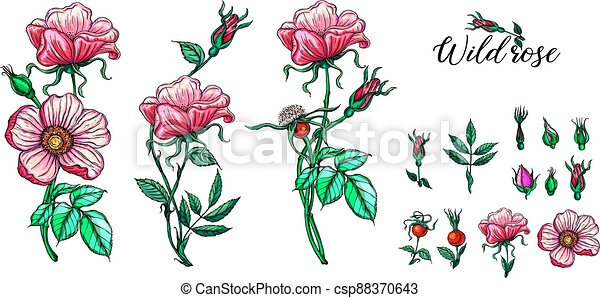 A set of vector flower compositions. Rose. Pink. - csp88370643