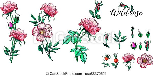 A set of vector flower compositions. Rose. Pink. - csp88370621
