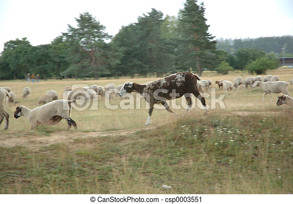 a sheep runs fast - csp0003551