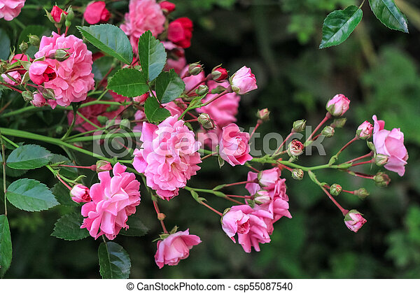 A Shrub With Small Pink Roses Blossoms In A Green Garden