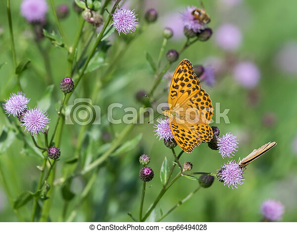 A Silver-washed fritillary butterfly sitting on a flower - csp66494028