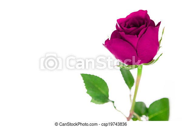 A single pink rose on a white background. - csp19743836