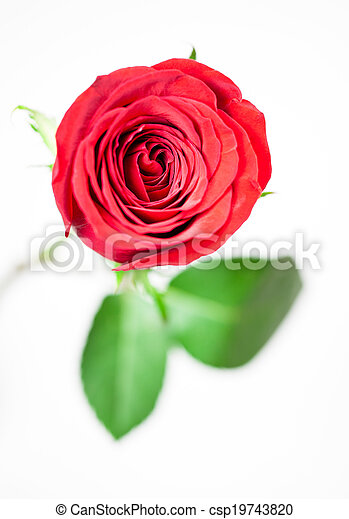 A single red rose on a white backgr - csp19743820