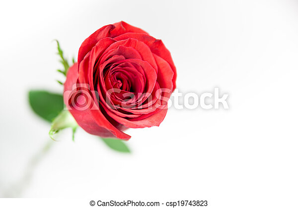 A single red rose on a white background. - csp19743823