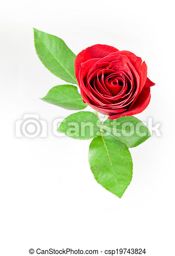 A single red rose on a white background. - csp19743824