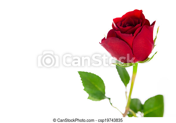 A single red rose on a white background. - csp19743835