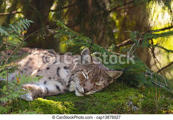 A sleeping Lynx - csp13876027