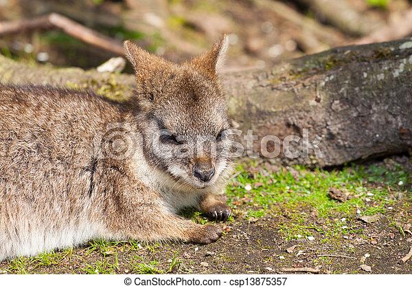 A sleeping parma wallaby - csp13875357