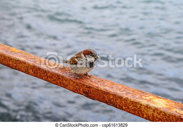 A small grey Sparrow sits on a rusty metal fence against the water surface. - csp61613829