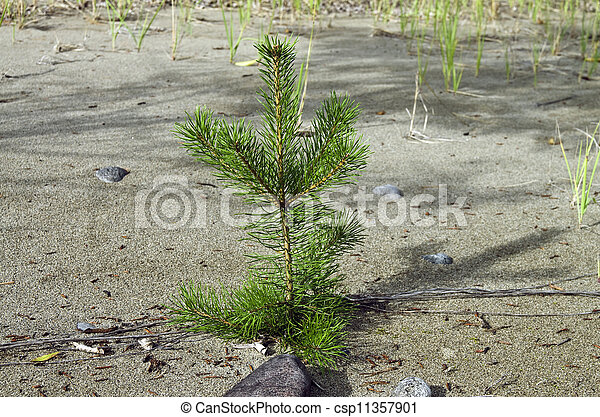 A small pine tree on the sandy beach. - csp11357901