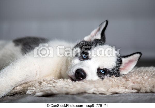 A small white dog puppy breed siberian husky - csp81779171