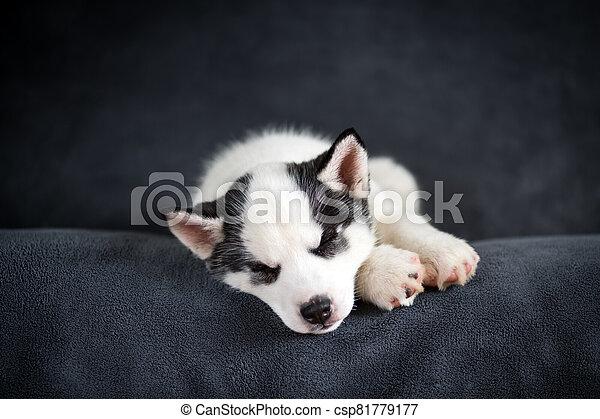 A small white dog puppy breed siberian husky - csp81779177