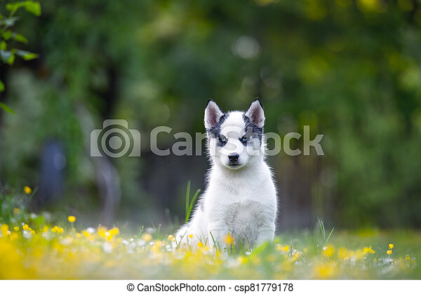 A small white dog puppy breed siberian husky - csp81779178