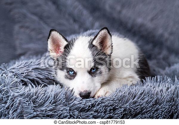 A small white dog puppy breed siberian husky - csp81779153