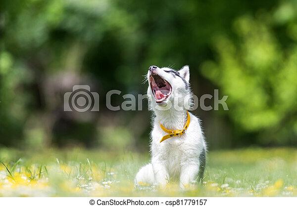 A small white dog puppy breed siberian husky - csp81779157
