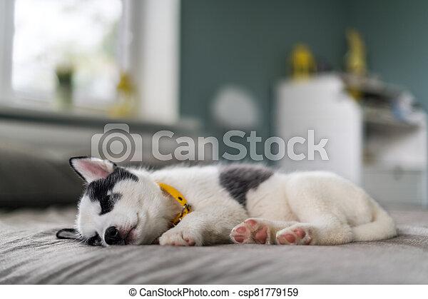 A small white dog puppy breed siberian husky - csp81779159