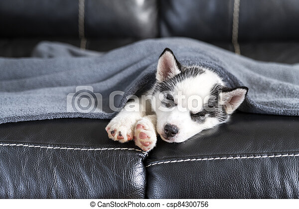 A small white dog puppy breed siberian husky - csp84300756