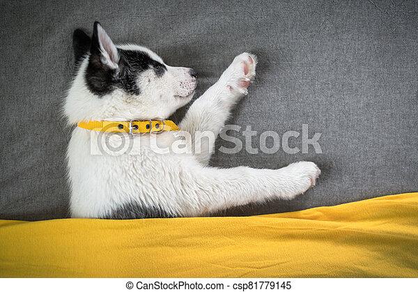 A small white dog puppy breed siberian husky - csp81779145