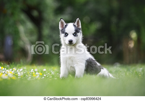 A small white dog puppy breed siberian husky - csp83996424