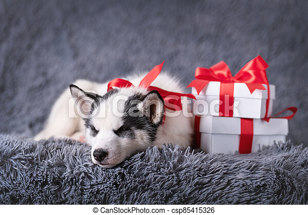 A small white dog puppy breed siberian husky - csp85415326