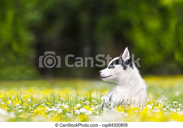 A small white dog puppy breed siberian husky - csp84300809