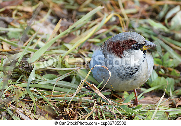 A Sparrow lurking in the grass. - csp86785502