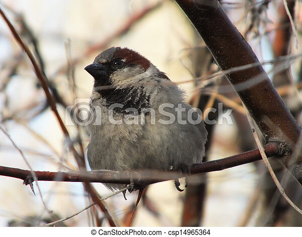 A sparrow sitting in a tree branch - csp14965364